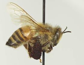 Bee Issues | Pollinator org