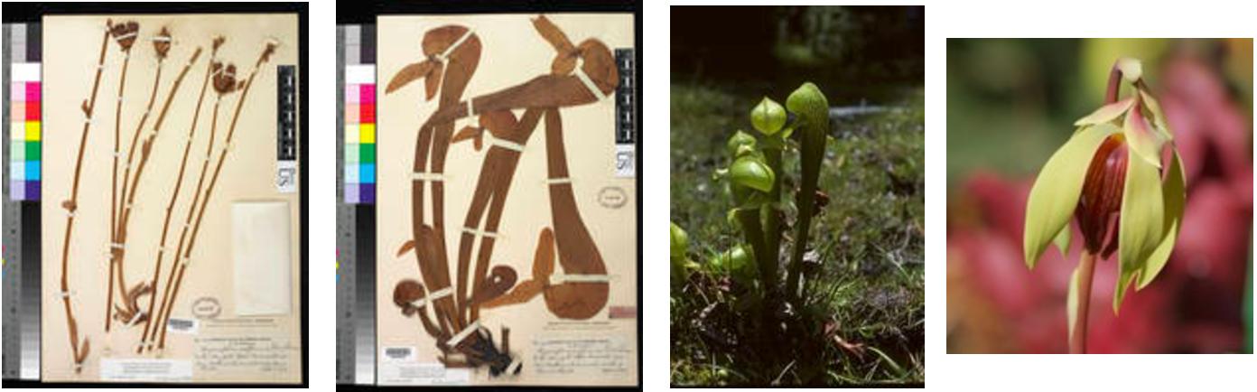 Sarracenia Carnivorous Pitcher Plant Darlingtonia Californica Seeds WST