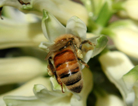 Bee Issues   Pollinator org